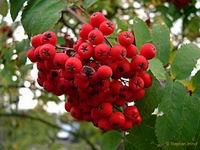 sorbus_aucuparia_frucht